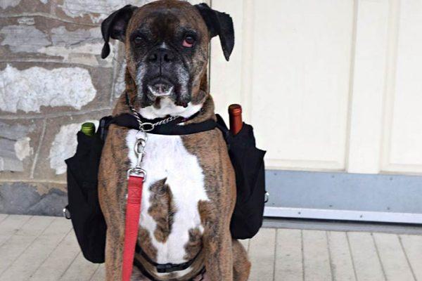 Cãolivery: Cachorrinho faz entrega de vinhos para clientes em quarentena