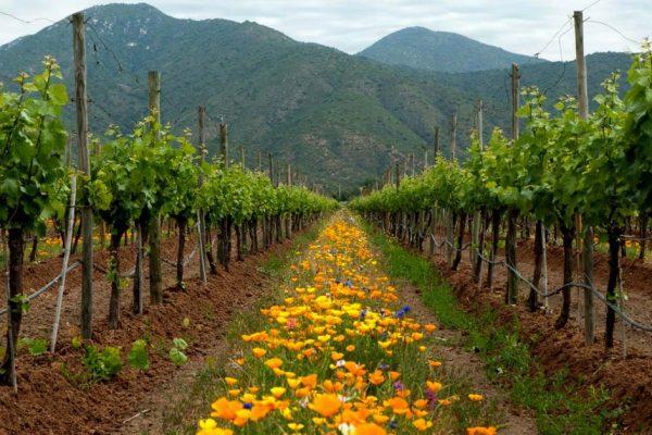Vinhos do Chile caminham para um futuro Orgânico e Natural